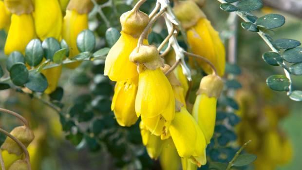Sophora prostrata.