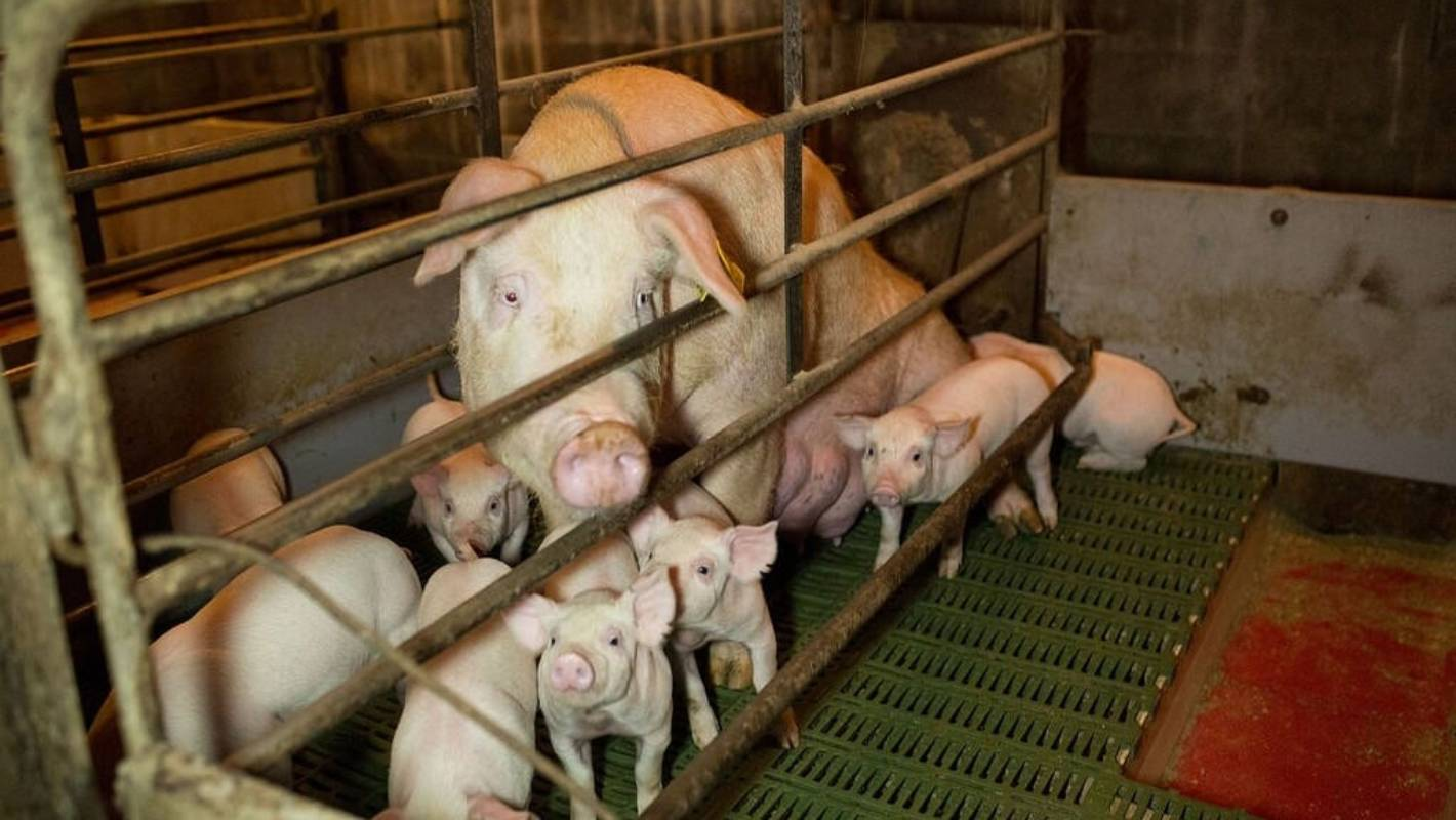 outlawing farrowing crates will be the final nail in the