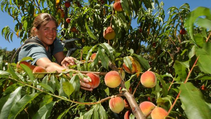 Prune Correctly And You Will Have Plenty Of Peaches To Share With Family Friends