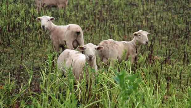 Romney ram hoggets on a crop at Kiwitea property of Manawatu romney breeder Ross Humphrey.