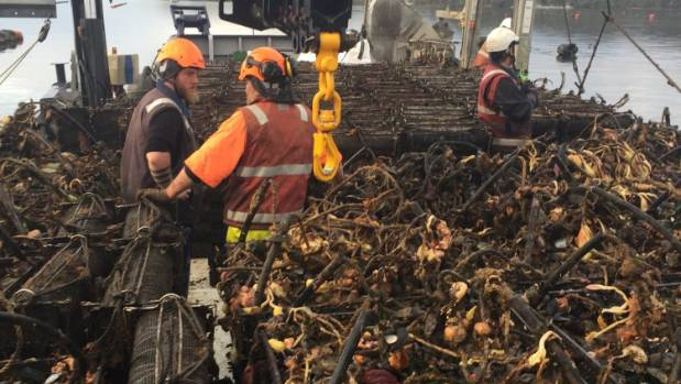 Oysters are hauled onto a barge from Rodney Clark's farm in Big Glory Bay, Stewart Island. Clark estimates more than 10 ...