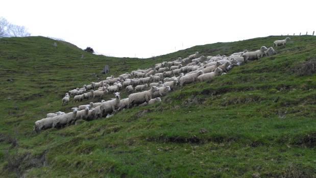 Brookfield Romneys stud ewes on steep hill country near Taihape.