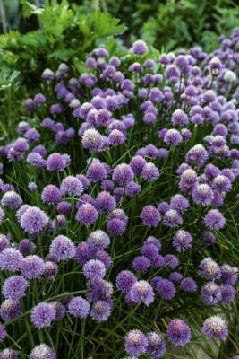 Chives is a hardy perennial that's easy to grow from seed. The seed needs reasonable warmth to germinate, so sow in ...
