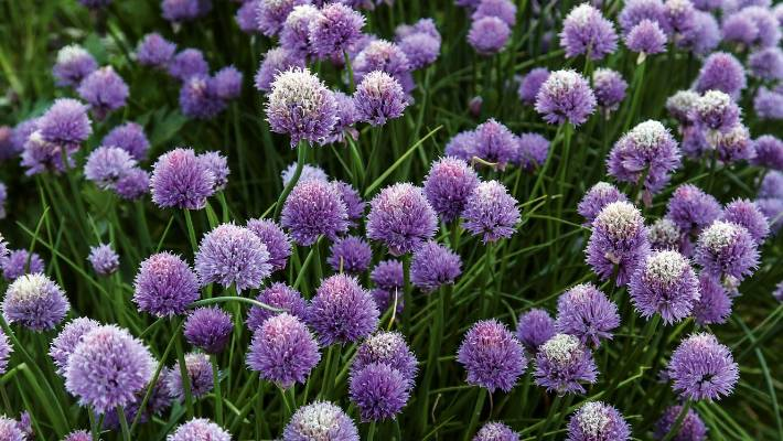 Chives How To Plant Grow Harvest This Pretty Herb Stuff