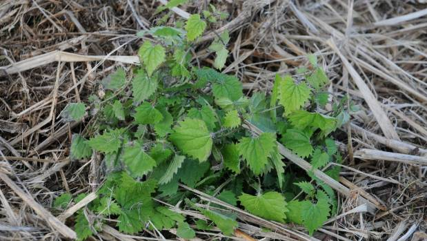 The stinging nettle, or urtica incisa, is a favourite food of the red admiral caterpillar.