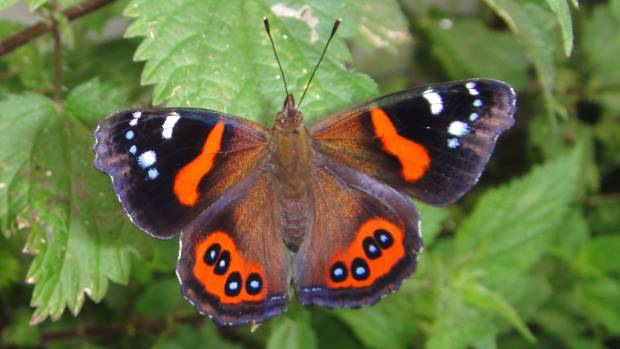 Red admiral butterflies are not as common as they once were.