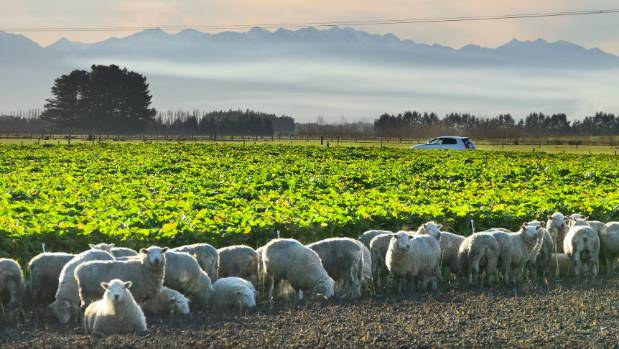 Sheep feed on a winter crop near Drummond, in Southland.