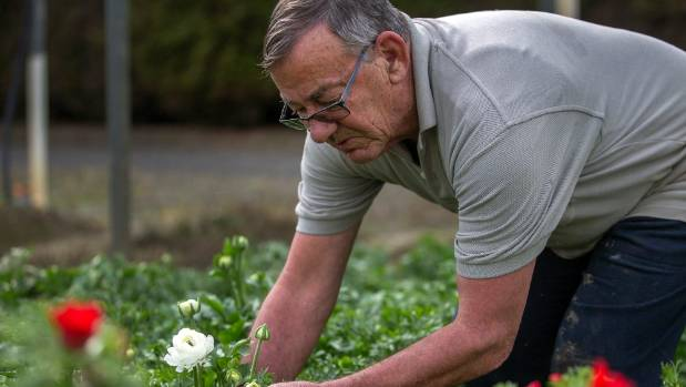 Neville Dickey of Delta Gardens, in the Manawatu, checks flowers in a greenhouse.