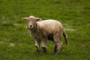 This lamb is just one of many braving the wet conditions on a farms near Palmerston North.