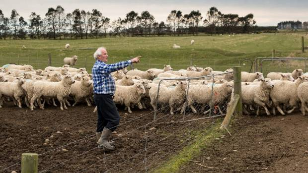 Bruce McCulloch, moving coopworth ewes on the farm near Glenavy, South Canterbury, that his grandfather took up in 1899.