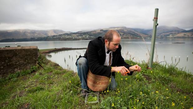 Sturla, who is from Chile, harvests wild greens above Magazine Bay, overlooking Lyttelton Harbour.
