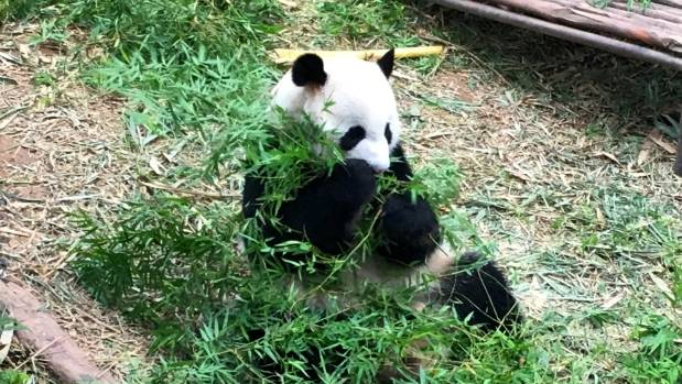 The giant pandas are the stars of the River Safari wildlife park.