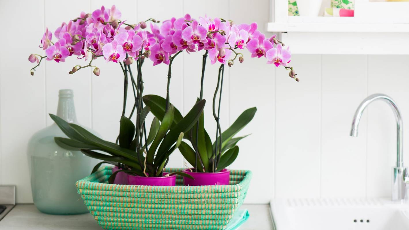 Tell you how to plant an orchid at home. Division of rhizomes, cuttings and rooting of airborne children