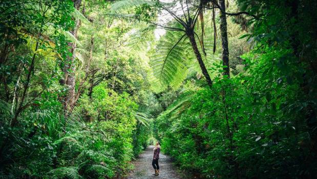 The Kauri Coast has some of the most beautiful, lush forest in New Zealand.
