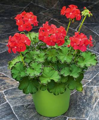 Geranium marginata 'Deep Red' produces intensely coloured flowers above ruffled leaves with a distinctive dark zonal ...