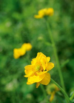 Geum chiloense 'Lady Stratheden' is a hardy perennial with golden-yellow, semi-double blooms from spring through summer. ...