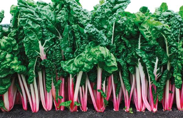 Silverbeet 'Peppermint' has white petioles with pink stripes from bottom to top, creating a visual pop in the garden. It ...
