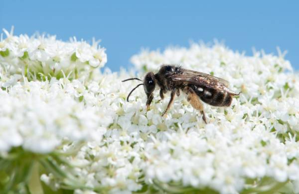 Our native bees tend to sip nectar too, usually from flowers that have an open nectar reservoir (manuka, pohutukawa and ...
