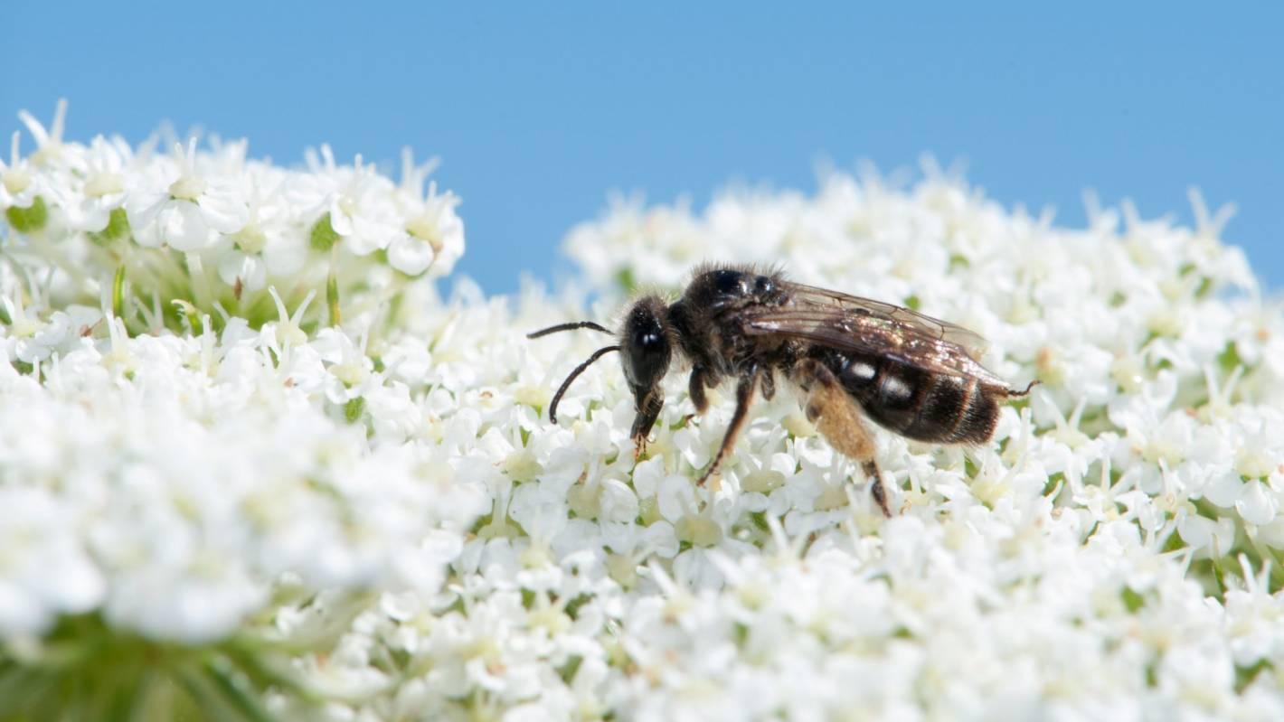 Intensive farming hurts native bees, study says
