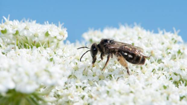 Native bees struggle in areas of intensive farming practices.