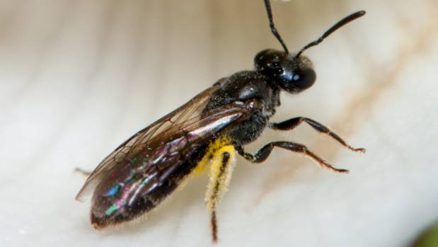 Native bee numbers were counted and compared to exotic pollinator species.
