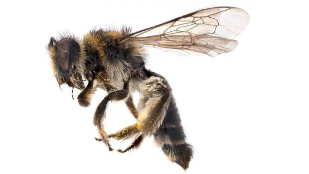 New Zealand bees, such as the one featured here, are highly specialised at pollinating native plants.