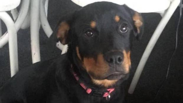 Rosie Jordan's beloved rottweiler went missing last month after she was dropped at a friend's house in Waitohi.