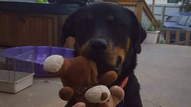 Rosie Jordan is offering a reward of $4000 for the return of her missing 15-month-old rottweiler Lola.
