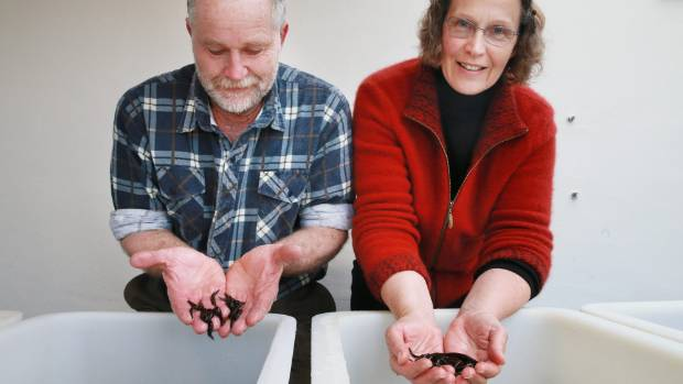 Robert and Maria Lupton farm medical-grade leeches in a converted dairy shed across the paddock from their Cambridge ...