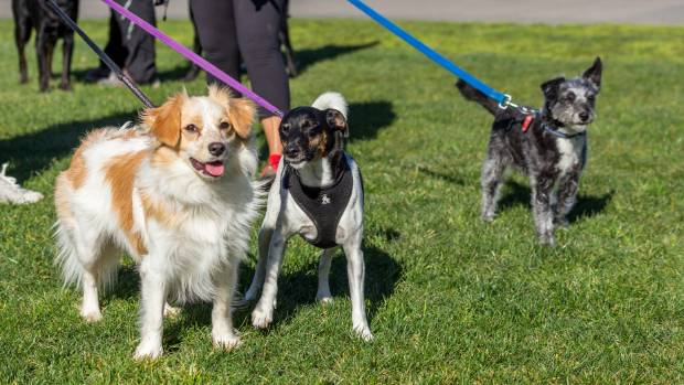 50 dogs gathered in Frank Kitts Park on Saturday August 12 for the Find a Truffle with your Dog event as part of Visa ...
