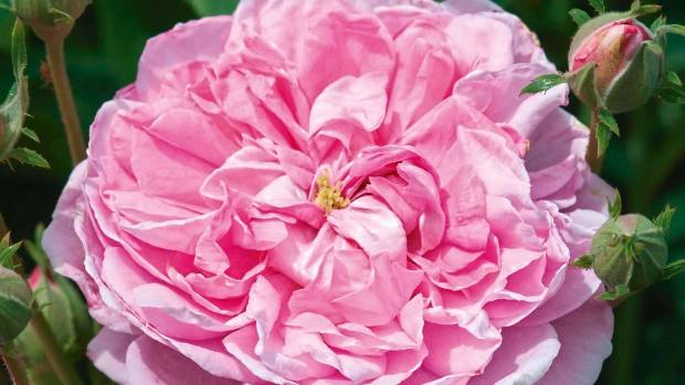 'Ispahan' is trouble free and exceptionally generous with its blooms.