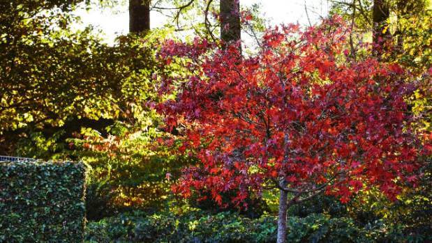 A Japanese maple – Kate planted maples throughout the garden for seasonal colour and as a way of bringing tree foliage ...