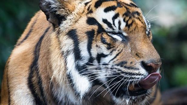Jaka, one of Auckland Zoo's three Sumatran tigers, was put down on Friday at age 17.