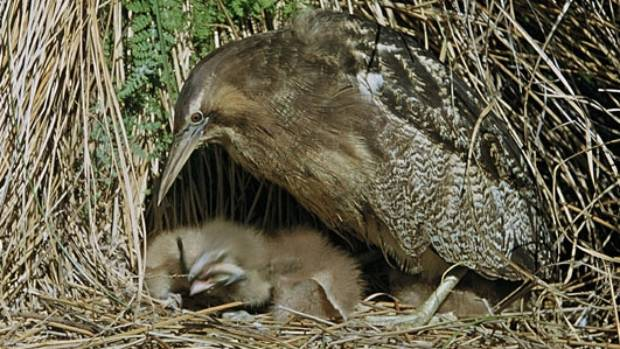 The mating calls of the Australasian bittern could be affected by noise levels at Flaxmere House, experts say.