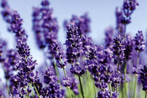 There are several types of lavender, but all like well-drained, fertile soil in full sun. Planting on mounds will aid ...