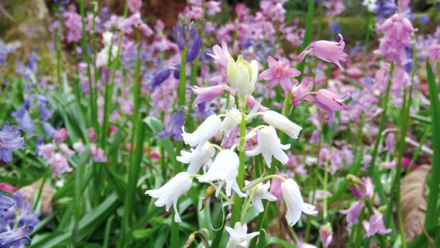 White and pink bluebells can be charming novelties.