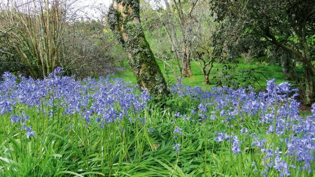 It's likely that bluebells in New Zealand are Spanish  or hybrids, rather than pure English bluebells.