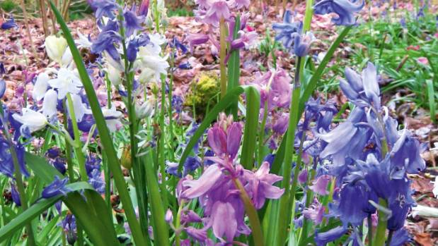 Bluebells grow too vigorously to tuck tidily into garden borders.
