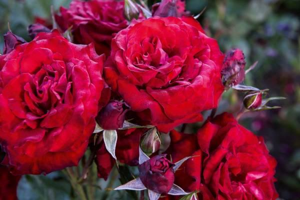 Rosa 'L.D. Braithwaite'.