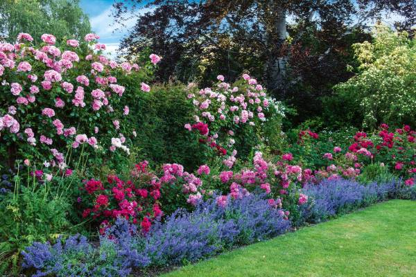 Rosa 'Bantry Bay' climbs the fence behind the buxus underplanted with more  roses and blue nepeta.