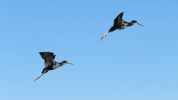 Two of 51 young kaki, or black stilts, that were released into the wild at the head of Lake Tekapo.