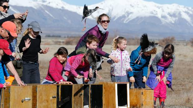 The boxes open and kaki, or black stilts, are released into the wild at the head of Lake Tekapo.