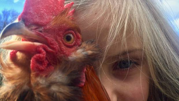 Lily Thomas is the No 1 chicken wrangler in the Thomas family.