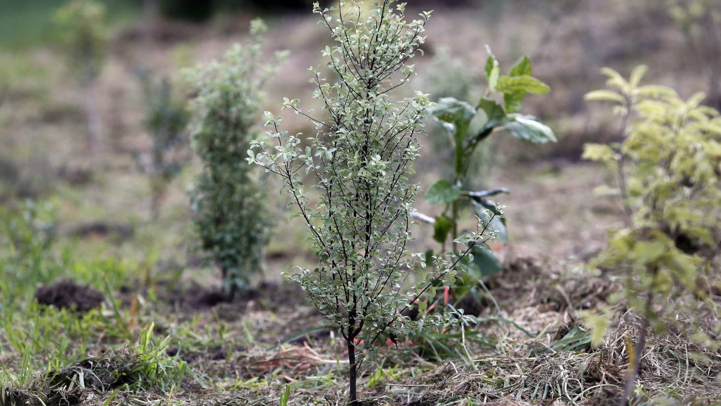 8 Fast Growing Trees To Plant For Privacy Stuff Co Nz