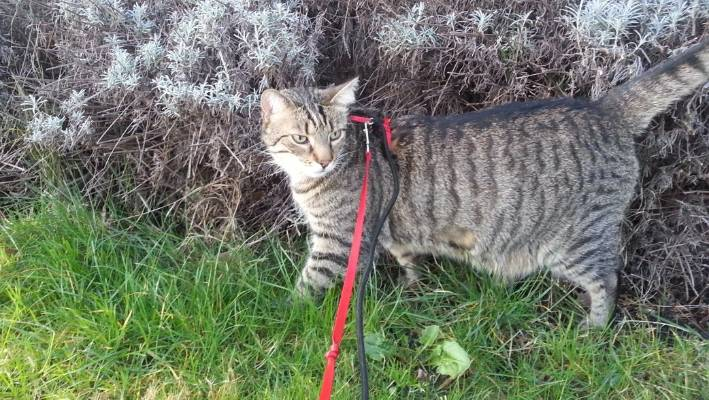 Walking cats on leash causes stress to the animals, expert