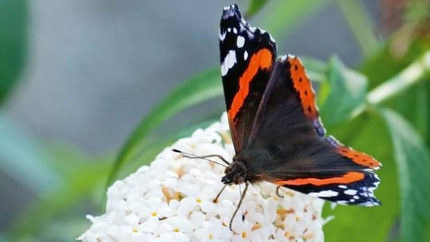 Red admiral butterfly.