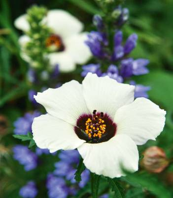Hibiscus trionum. Perhaps our most exotic-looking native perennial, Hibiscus trionum is surprisingly rare in the wild ...