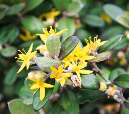 Corokias have attractive foliage and flowers, and make great hedges or topiary as well as pollinator food. Corokia ...