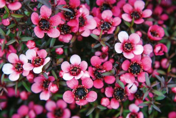 Leptospermum scoparium. Though relatively brief in its flowering, manuka is one of the best plants you can grow for ...