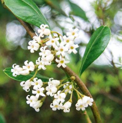 Parsonsia heterophylla. There are three species of native jasmine but Parsonsia heterophylla is the most common. It ...
